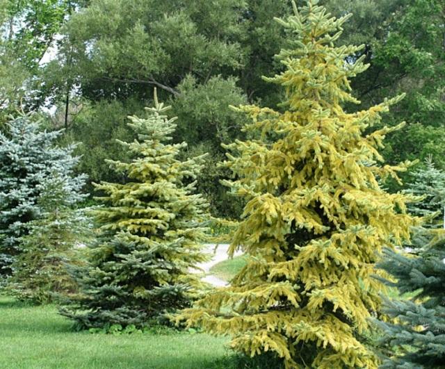 Evergreens over winter