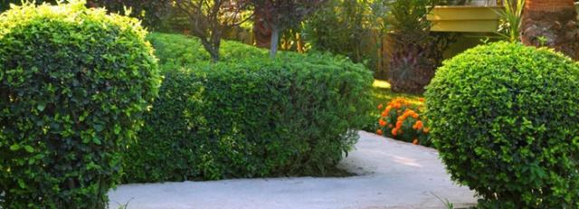 Sheared shrubs
