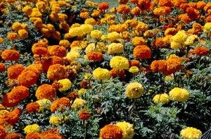 Marigolds-Green-Thumb-Landscaping