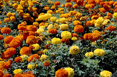 Marigolds-Green-Thumb-Landscaping