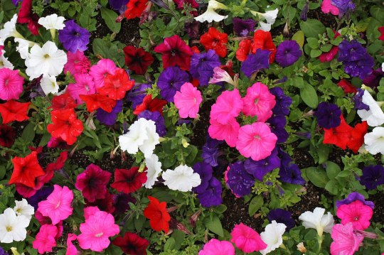 petunias-Green-Thumb-Landscaping