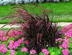 Purple-Fountain-Grass-Green-Thumb-Landscaping