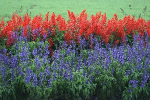 Salvia-blue and red