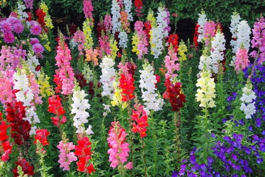 Snapdragon-Green-Thumb-Landscaping