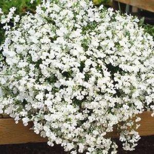 White-lobelia-Green-Thumb-Landscaping